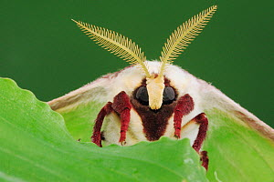 RF- American moon / Luna Moth (Actias luna) head portrait with antennae. New Braunfels, Texas, USA. March. - Rolf Nussbaumer