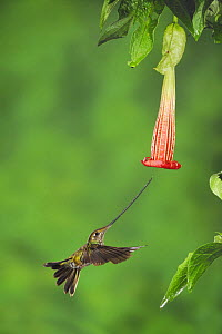Sword-billed Hummingbird (Ensifera ensifera) female feeding from Datura flower, Papallacta, Ecuador, Andes, South America, January - Rolf Nussbaumer