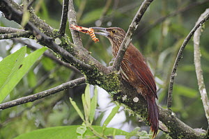 Strong-billed Woodcreeper (Xiphocolaptes promeropirhynchus) adult with moth prey, Mindo, Ecuador, Andes, South America, January  -  Rolf Nussbaumer