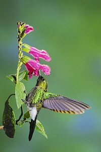 Tourmaline Sunangel (Heliangelus exortis) male feeding from sage flower, Papallacta, Ecuador, Andes, South America, January  -  Rolf Nussbaumer
