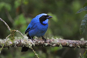 Turquoise Jay (Cyanolyca turcosa) adult perched, Papallacta, Ecuador, Andes, South America, January  -  Rolf Nussbaumer