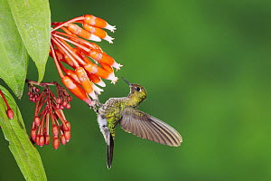 Tyrian Metaltail (Metallura tyrianthina), adult feeding on flower, Papallacta, Ecuador, Andes, South America, January  -  Rolf Nussbaumer