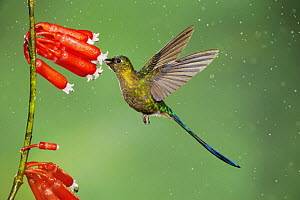 Violet-tailed Sylph (Aglaiocercus coelestis), male feeding on flower in rain, Mindo, Ecuador, Andes, South America, January  -  Rolf Nussbaumer