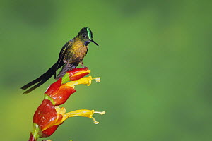 Violet-tailed Sylph (Aglaiocercus coelestis), male perched on ginger flower, Mindo, Ecuador, Andes, South America, January  -  Rolf Nussbaumer