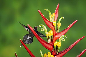 White-whiskered Hermit (Phaethornis yaruqui), adult feeding on heliconia flower, Mindo, Ecuador, Andes, South America, January - Rolf Nussbaumer