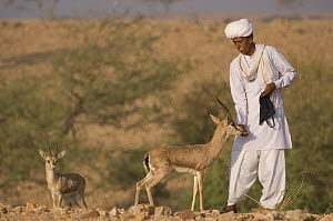 Bishnoi holy man or priest, feeding Chinkara / Indian Gazelle (Gazella bennettii),   Lohawat, Rajasthan, India  -  Bernard Castelein