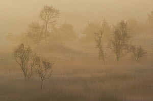 Birch trees (Betula pendula) in morning mist at sunrise, Groot Schietveld, Wuustwezel, Belgium  -  Bernard Castelein