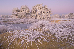 Trees and grass covered in heavy hoar frost, Groot Schietveld, Wuustwezel, Belgium  -  Bernard Castelein