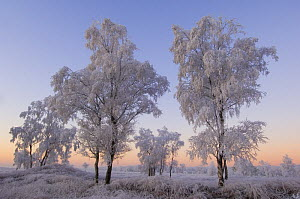 Birch trees and grass covered in heavy hoar frost, Groot Schietveld, Wuustwezel, Belgium  -  Bernard Castelein