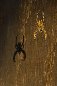 Garden spider (Araneus diadematus) hanging on web with shadow behind, Belgium - Bernard Castelein