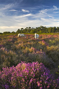 Two white New Forest ponies grazing among heather, New Forest National Park, Hampshire, England  -  Adam Burton
