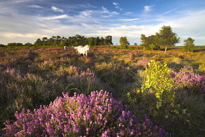 White New Forest ponies grazing on heather, New Forest National Park, Hampshire, England  -  Adam Burton