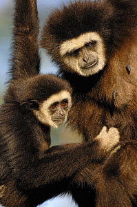 White handed gibbon (Hylobates lar) mother and young, Endangered, captive, from SE ASia  -  Eric Baccega