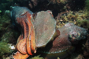 Giant cuttlefish (Sepia apama) male shielding egg-laying female from rival male. Spencer Gulf, Whyalla, South Australia  -  Georgette Douwma