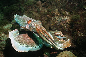 Giant cuttlefish (Sepia apama) two breeding males posturing. Spencer Gulf, Whyalla, South Australia.  -  Georgette Douwma
