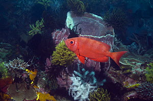 Goggle-eye (Preacanthus hamrur) on coral reef with featherstars. Rinca, Indonesia  -  Georgette Douwma