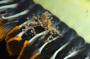 Hydroid / Fairy crab (Hyastenus bipinosus) on Sea pen (Pteroides sp.) where it has climbed to feed on plankton floating past. It has decorated its body with hydroid polyps, Indonesia  -  Georgette Douwma