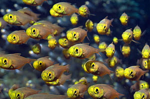 Shoal of pygmy sweepers (Parapriacanthus ransonetti), Andaman Sea, Thailand  -  Georgette Douwma