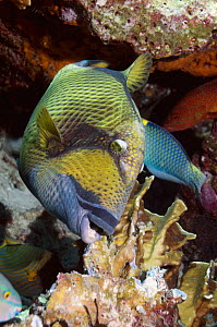 Titan / Moustache triggerfish (Balistoides viridescens) breaking up Blue coral (Heliopora coerulea). Blue coral is a member of the subclass Octocorall and is a living fossil. Andaman Sea, Thailand - Georgette Douwma