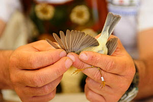 Field research scientist  studying bird migration examines the feathers and wing structure of a ringed Subalpine warbler {Sylvia cantillans} Ventotene, Pontine Islands, Italy  2008 - Fabio Liverani
