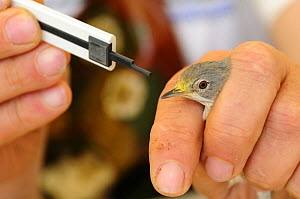 Field research scientist  studying bird migration samples the pollen found on the beak of a Subalpine warbler {Sylvia cantillans} Ventotene, Pontine Islands, Italy  2008 - Fabio Liverani