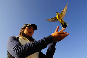 Research scientist releases ringed Yellow wagtail at field research station for the study of bird migration, Ventotene, Pontine Islands, Italy 2008  -  Fabio Liverani