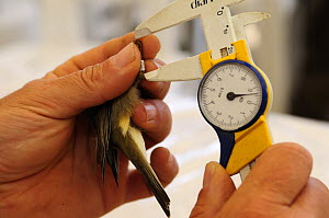 Research scientist  measuring leg length of Subalpine warbler at field research centre for studying bird migration, Ventotene island, Pontine Islands, Italy 2008 - Fabio Liverani