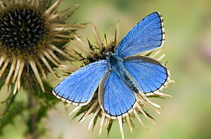 Adonis Blue (Polyommatus bellargus) male on Carline thistle, Oxfordshire, England, UK - Andy Sands
