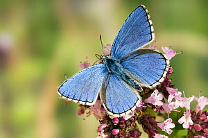 Adonis Blue (Polyommatus bellargus) Male feeding on Marjoram, Oxfordshire, England, UK - Andy Sands