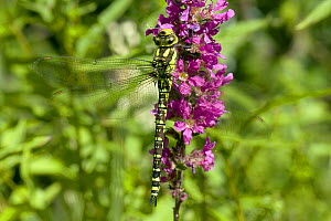 Golden-ringed Dragonfly (Cordulegaster boltonii)resting on Purple Loosetrife, West Sussex, England, UK  -  Andy Sands