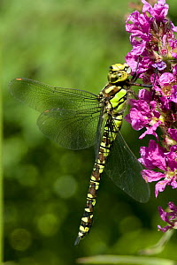 Golden-ringed Dragonfly (Cordulegaster boltonii) resting on Purple Loosetrife, West Sussex, England, UK  -  Andy Sands