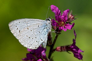 Holly Blue butterfly (Celastrina argiolus) wings closed, feeding on Purple Loosestrife, West Sussex, England, UK  -  Andy Sands