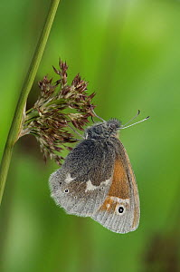Large Heath butterfly (Coenonympha tullia) Captive, UK - Andy Sands