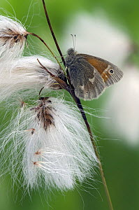 Large Heath butterfly (Coenonympha tullia) On Cotton Grass seed heads, Captive, UK - Andy Sands