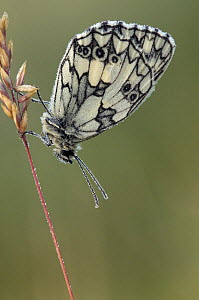 Marbled White butterfly (Melanargia galathea) covered in dew at dawn, Hertfordshire, England, UK - Andy Sands