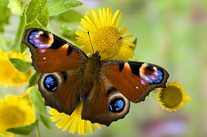 Peacock butterfly (Inachis io) on Fleabane flowers, Hertfordshire, England, UK  -  Andy Sands