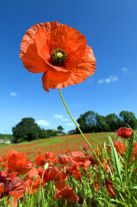 Common Poppy (Papaver rhoeas) Individual flower, Hertfordshire, England, UK - Andy Sands