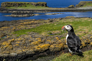Puffin (Fratercula arctica) with beak full of sand eels, Isle of Lunga, Treshnish Isles,  Inner Hebrides, Scotland, UK - Andy Sands