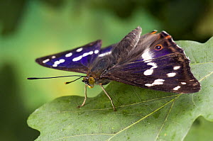 Purple Emperor butterfly (Apatura iris) on Oak leaf basking with wings open, Captive, UK  -  Andy Sands