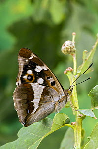 Purple Emperor butterfly (Apatura iris) on Oak with wings closed, Captive, UK  -  Andy Sands