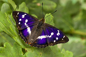 Purple Emperor (Apatura iris) on Oak leaves basking with wings open, Captive, UK - Andy Sands