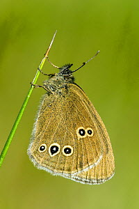 Ringlet butterfly (Aphantopus hyperantus) roosting in early morning sun, Hertfordshire, England, UK  -  Andy Sands