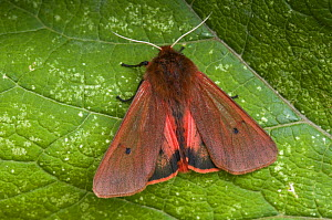 Ruby Tiger moth (Phragmatobia fuliginosa) showing underwing, Hertforshire, England, UK  -  Andy Sands