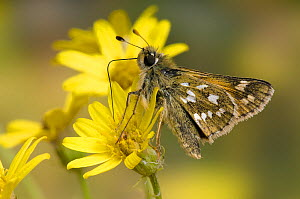 Silver Spotted Skipper (Hesperia comma) feeding on Horny Ragwort flower, Kent, England, UK - Andy Sands