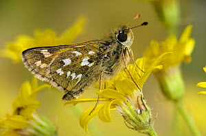 Silver Spotted Skipper (Hesperia comma) on Horny Ragwort flower, Kent, England, UK - Andy Sands