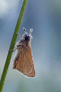 Small Skipper (Thymelicus sylvestris) covered in dew, Hertfordshire, England, UK - Andy Sands