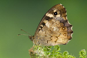 Speckled Wood butterfly (Pararge aegeria) resting on Fern, Captive, UK  -  Andy Sands