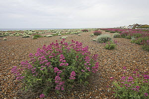 Red valerian (Centranthus ruber) flowering on vegetated shingle, with sea kale in background. Shoreham Beach LNR, Sussex, UK - Simon Colmer