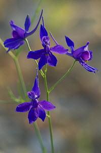 Forking Larkspur / Royal Knight's-spur (Consolida regalis / Delphinium consolida), Provence, France  -  Philippe Clement
