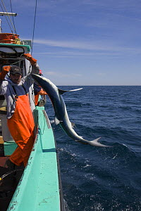 Crew of longline fishing boat pulls in a Great blue shark (Prionace glauca) taken as bycatch while fishing for Porbeagle shark; they are not allowed to keep the low-value blue shark and will throw it...  -  Doug Perrine